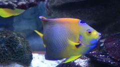 Koran angelfish Stock Footage