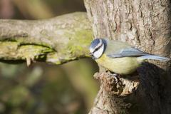 Blue Tit  (Parus caeruleus) - stock photo