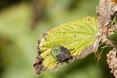 Stock Photo of Shield Bug