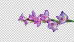 Time-lapse of opening pink gladiolus flower with ALPHA, vertical Stock Footage