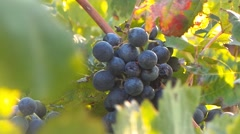 Vineyard French in autumn Stock Footage