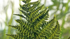Sporangia under green fern leaves Stock Footage