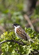 Reed Bunting ( Emberiza schoeniclus ) - stock photo