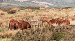 Wild horses on Brown Clee Hill in Shropshire Stock Footage
