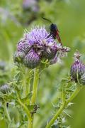Thistle flower Stock Photos