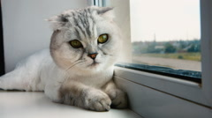 Ash cat sitting on the window. Concept: warmth, comfort - stock footage