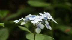 Hydrangea macrophylla in botanic garden Stock Footage