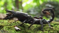 Close up macro view of Giant Forest Scorpion with big black claws and stinger Stock Footage