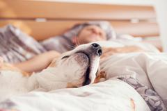Close up image beagle snout in his owner bed Stock Photos