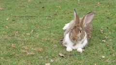 Gray rabbit in the garden eating grass and relaxing 4K 2160p UltraHD footage Stock Footage
