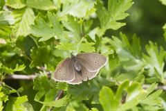 Ringlet butterfly (Aphantopus hyperanthus) - stock photo