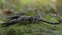 Close up macro view of big claws and tail with poisonous stinger of scorpion Stock Footage