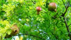 Pomegranate on the branch 3 Stock Footage
