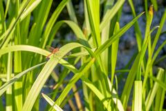 Dragonfly in the Reeds - stock photo
