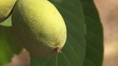 Walnut in a husk - stock footage