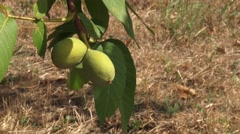 Walnuts in husk on the branch - stock footage