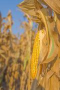 Maize corn ear on stalk Stock Photos
