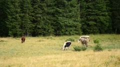 Cows grazing on pasture on background of fir tree forest Stock Footage