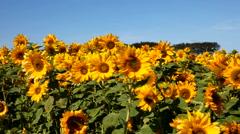 Enjoying the sunflower field Stock Footage