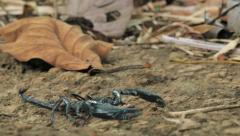 Aggressive Black Scorpion Heterometrus Spinifer moves on ground in rainforest Stock Footage