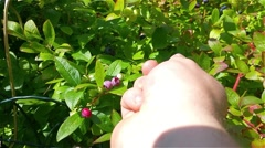 Picking bush blueberries in a plastic bag Stock Footage