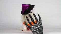 Adorable Little Maltese Dog Witch Licks Scares Away Creepy Skeleton Hand Stock Footage