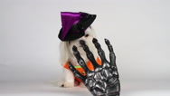 Stock Video Footage of Adorable Little Maltese Dog Witch Licks Scares Away Creepy Skeleton Hand