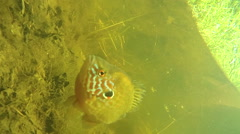 Perch under water in the river Stock Footage