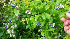Picking blue, bush blueberries, Vaccinium corymbosum, from a green bush Stock Footage