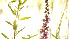 Purple loosestrife (Lythrum salicaria) flowers and insects with white backlight Stock Footage
