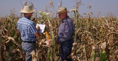 Farmer Men Check Corn Field Harvesting Season Eco Crop Farm Cereal Producer Grow Stock Footage