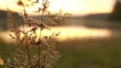 Rack focus shot of bushreed spikes at lakeside in evening light Stock Footage