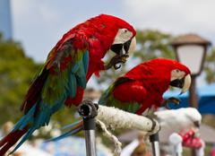 Two Red and Blue Parrots Stock Photos