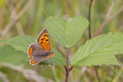 Small Copper butterfly (Lycaena phlaeas) Stock Photos