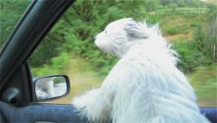 White dog peering through the window of the car and having fun, flat shot Stock Footage
