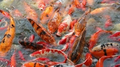 Colored carp feeding in shallow water in the pond, China Stock Footage