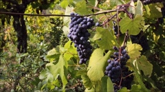 Grape vines growing in Minho region of Portugal. - stock footage