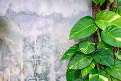 Epipremnum aureum plant growing on cement wall. Stock Photos