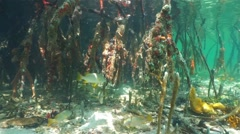 Mangrove tree roots underwater with fish swimming Stock Footage
