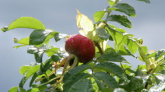 Fruit of rose hips on the Bush Stock Footage