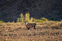 Oryx - NamibRand Nature Reserve - Namibia - stock photo