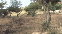 Olive Grove on the Mt. of Olives in the Old City of Jerusalem Stock Footage