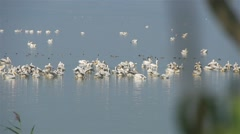 Large flock of white pelicans and other migratory birds in lake Stock Footage