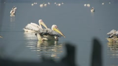 Two white pelicans swimming in a lake with calm water in slow motion Stock Footage