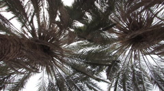 Palm Trees at Ein Gedi, Israel Stock Footage