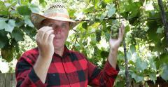 Vintner Man Picking Eating Grapes Vines Harvesting Checking Vineyard Winemaker Stock Footage