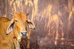 Cow brown with rust wall. - stock photo