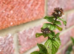 Mint moth on a mint sprig Stock Photos