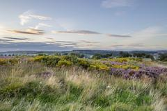 Stock Photo of Purple Heather in flower at sunset