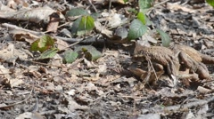 Toads (Bufo bufo) one female and two males are trying to mate Stock Footage